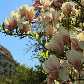 Plac_Grunwaldzki_magnolia.JPG