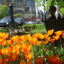 Aleja_kwiatowa_tulipany01.JPG